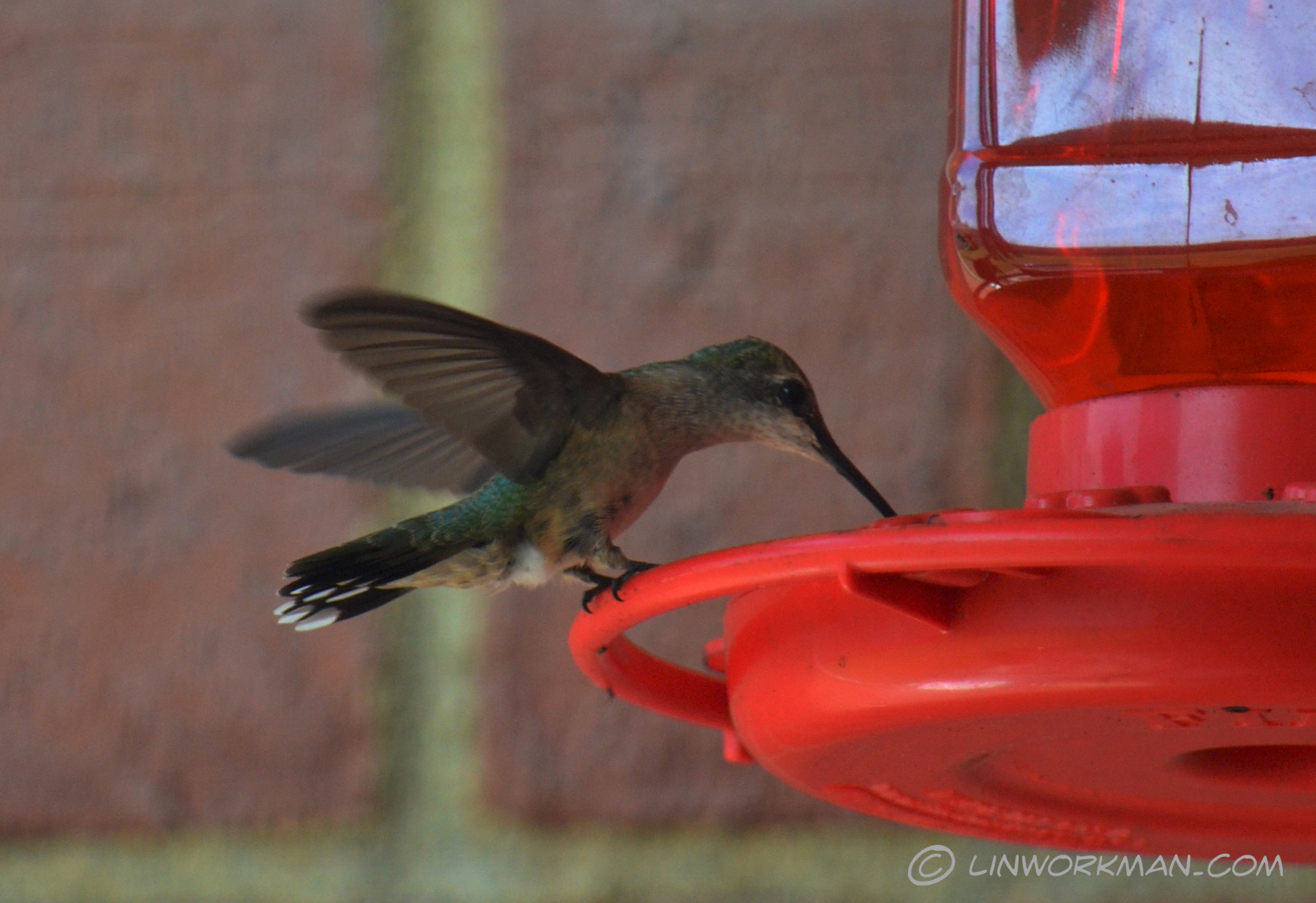 Why do humming birds hum? Because they don't know the words! New pics